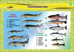 "Плакат ""Классификация рыбы"""