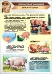 Плакат «Випасання свиней» 1140111